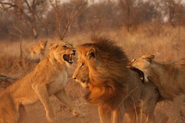 Female lions attacking male, Sabi Sand Wildtuin