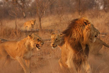 Lioness and male lion confrontation