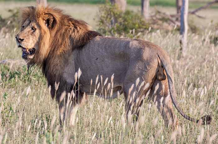 Male lion side-on, Kruger National Park