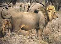 Lion male, side view