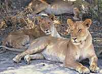 Lions resting in shade