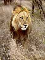 Lion male standing front-on