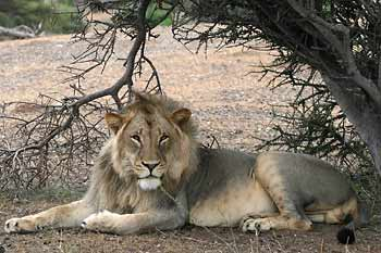 Male lion relaxing under shady bush