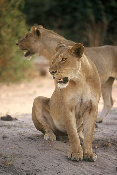 Lioness and young male lion