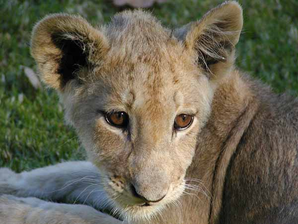 Lion cub close-up