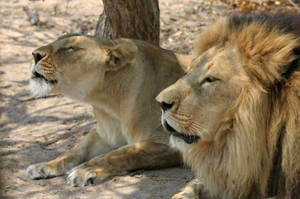 Lion pair lying together growling in unison