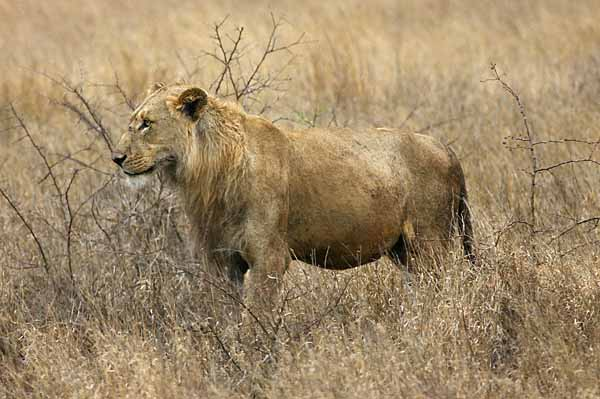 Young male lion standing side-on