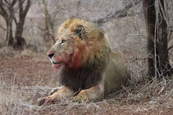 Lion with bloody face, Kruger National Park