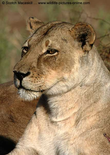 Close-up of Lioness as she scans the horizon, Mashatu Game Reserve, Botswana