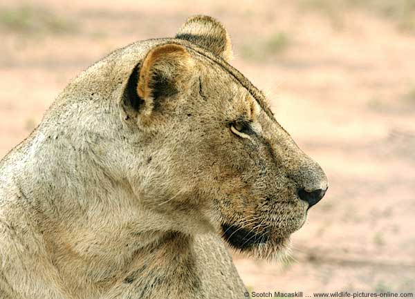 Lioness close-up, showing her head in profile, Mashatu Game Reserve, Botswana