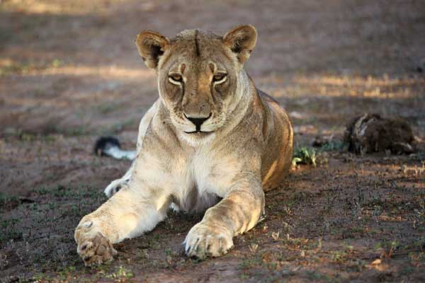 Lioness lying in shade