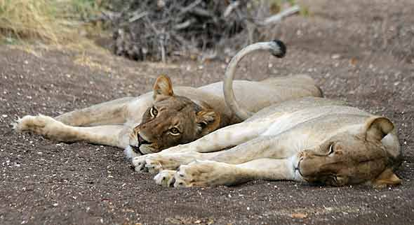 Lioness pair at rest