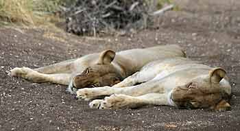 Lioness pair dozing
