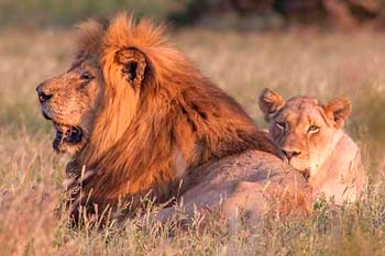 Lion and lioness, Kruger National Park
