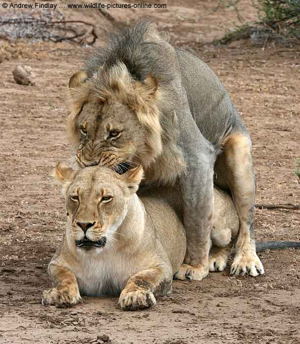 Lion male biting on female's neck while mating