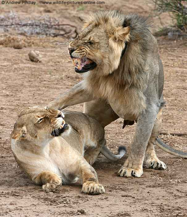 Lion male dismounts after mating