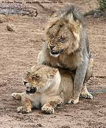 Growling and snarling as lions mate