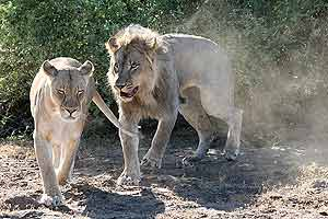 Lions about to mate
