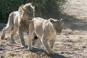 Lion male following female prior to mating