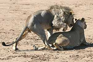 Lion male mounting female