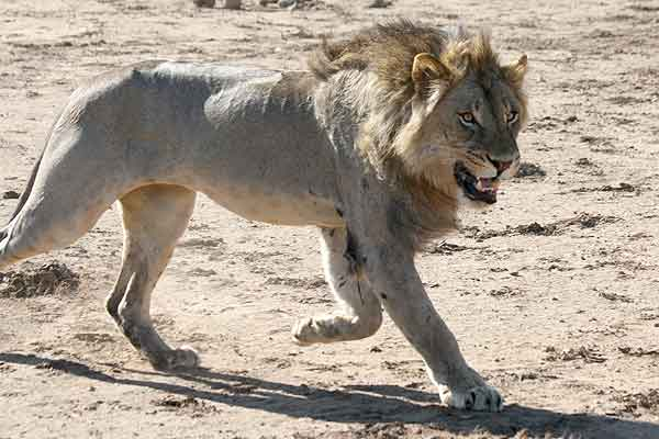 Lion male striding out