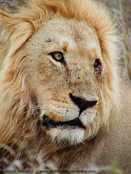 Close up of male lion with injured eye, Kruger Park, South Africa