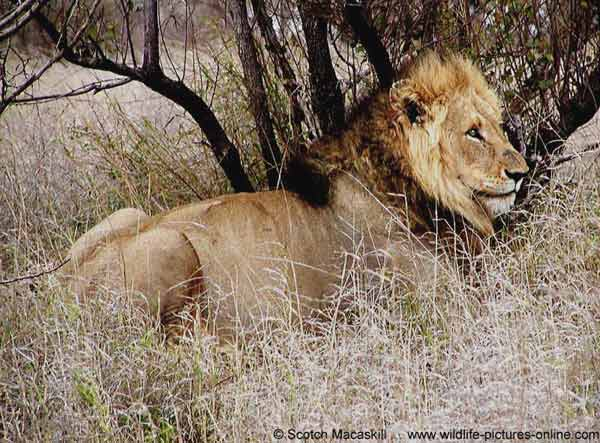 Lion with full belly resting under tree, Kruger National Park, South Africa