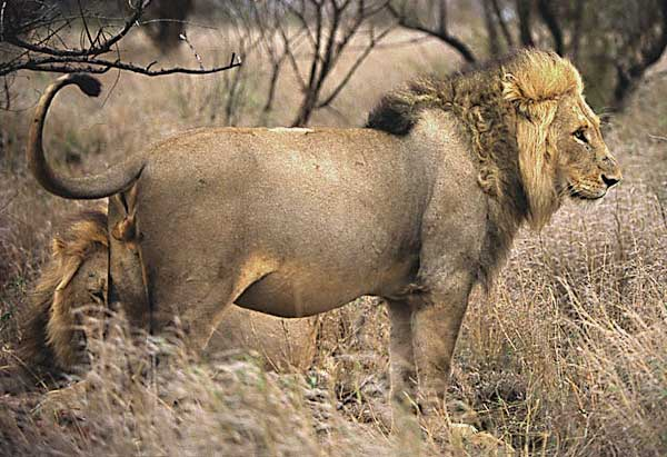Lion male with full stomach after feeding on buffalo, Kruger National Park, South Africa