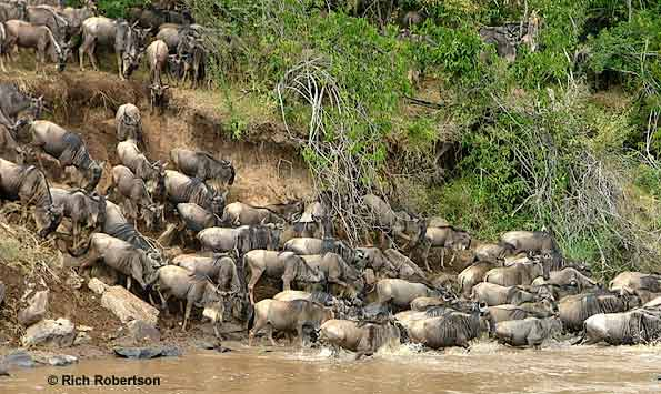 Migrating Wildebeest crossing Mara River