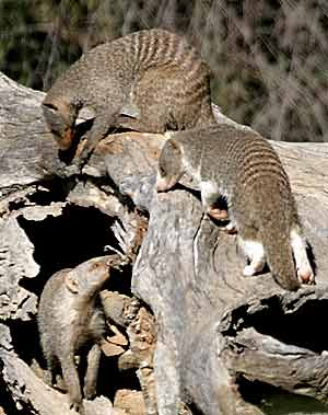 Mongooses foraging