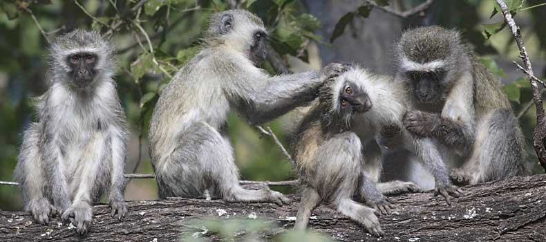 Vervet monkeys enjoying grooming session, Mashatu Game Reserve, Botswana