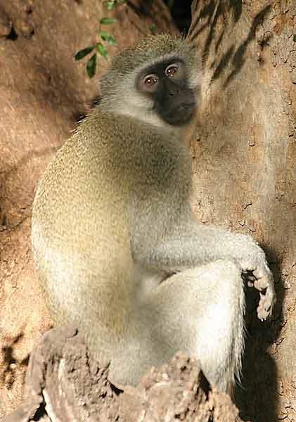 Monkey seated in tree