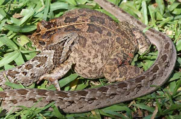 Night adder clamps jaws on frog