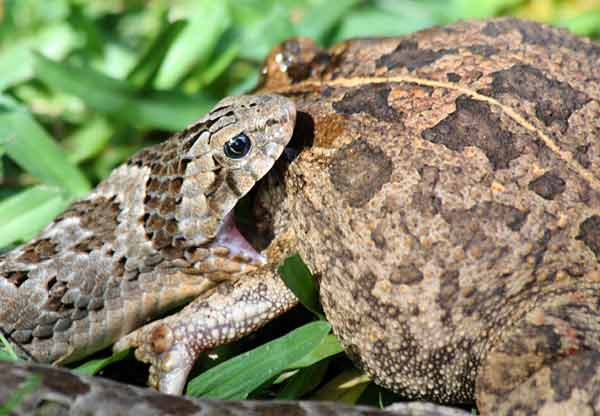 Night adder opens jaws over frog's head