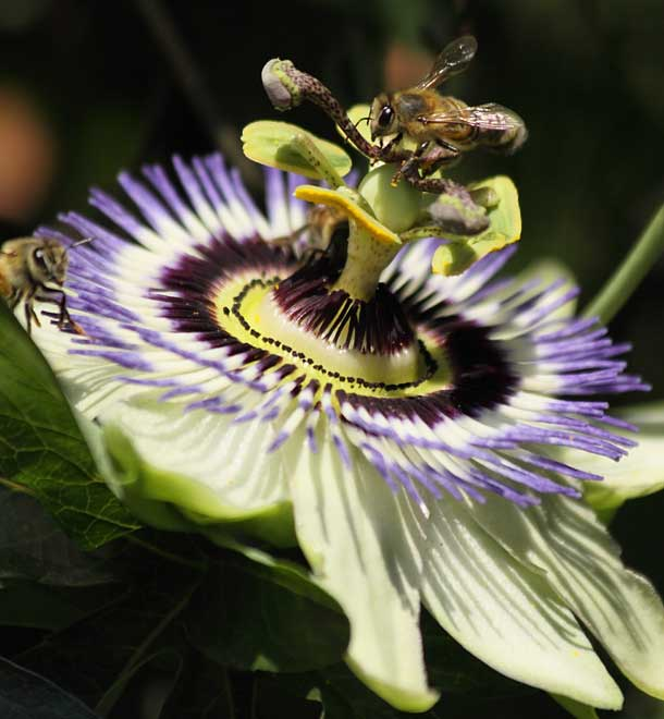 flower of passionfruit with honey bees