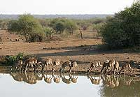 Impala drinking at Pete's Pond