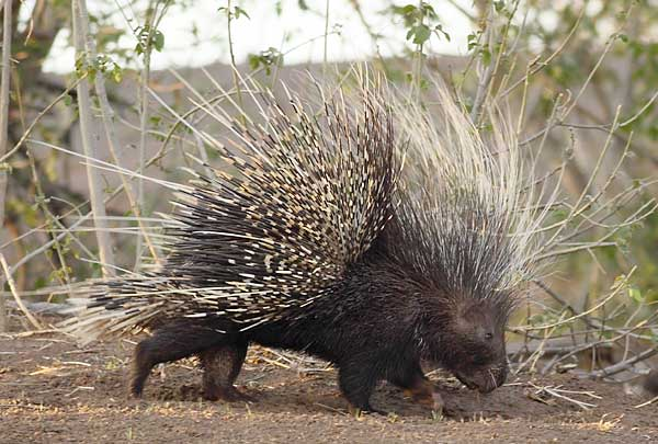 Porcupine walking along dry riverbed, Botswana