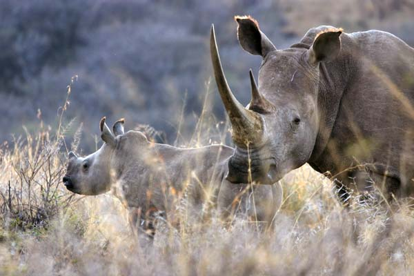 White Rhino mother with calf