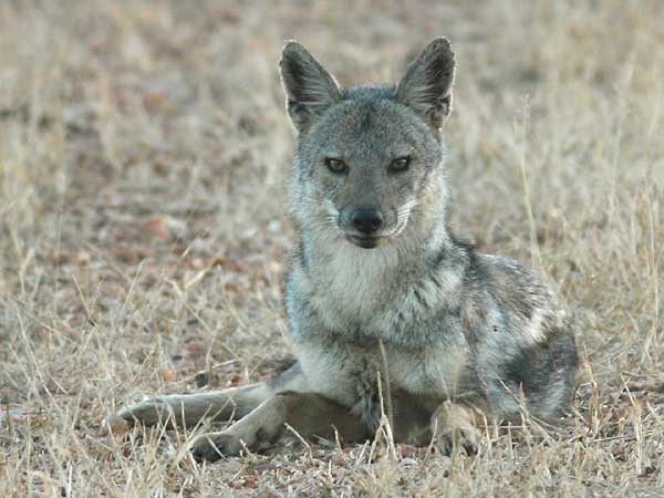 Side-striped jackal lying in grass, Lower Zambezi National Park, Zambia