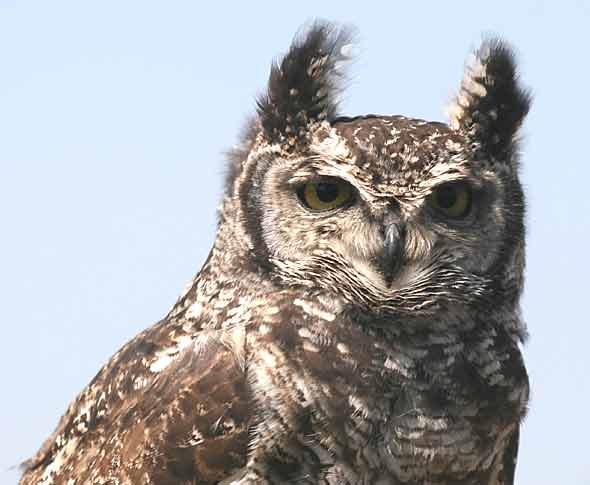 Spotted eagle owl, close-up