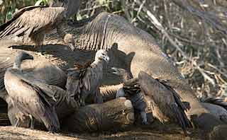 Vultures on dead elephant