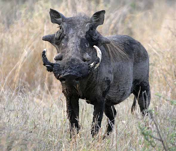 Warthog with muddy tusks and prominent warts