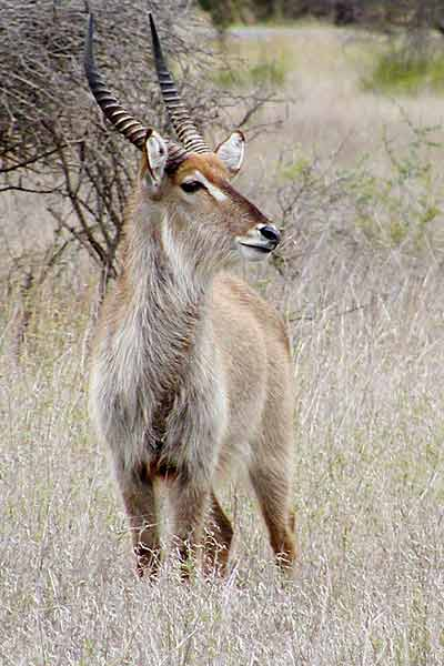 Waterbuck male in winter grass