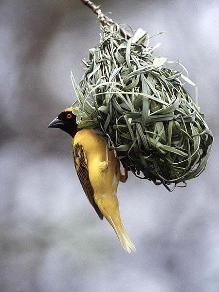 Picture of masked weaver building nest