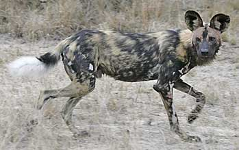 African wild dog, side view, Sabi Sand, South Africa