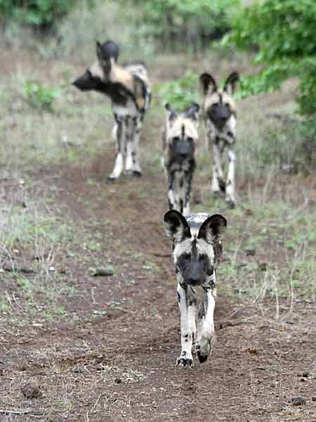 Wild dog sitting on its haunches