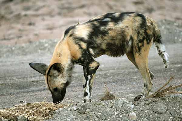 Wild dog sniffing at interesting scent, Botswana