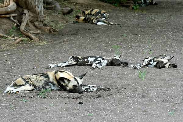 Wild dogs asleep in dry riverbed