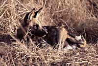 Picture of Wild Dog
