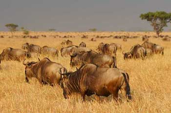Migrating wildebeest on plains of Serengeti